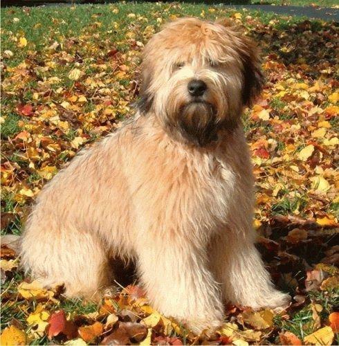 Soft Coated Wheaten Terrier Breeder Ohio