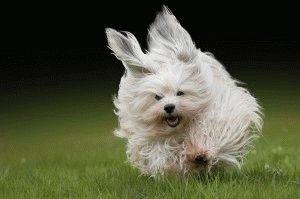 Гаванский бишон любит бегать