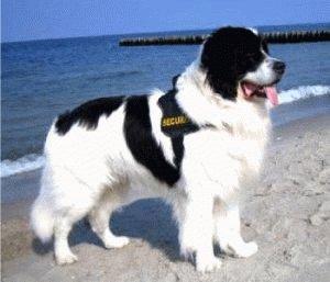 Взрослая собака Ландсир