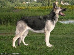 Восточноевропейская овчарка