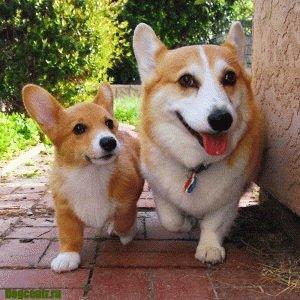 порода собак вельш корги