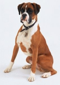 Собака американский боксер