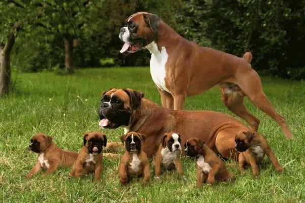 собака боксер и щенки