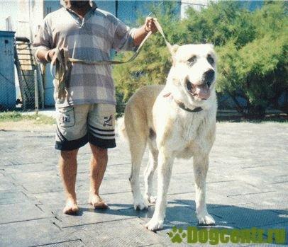собака кавказский волкодав