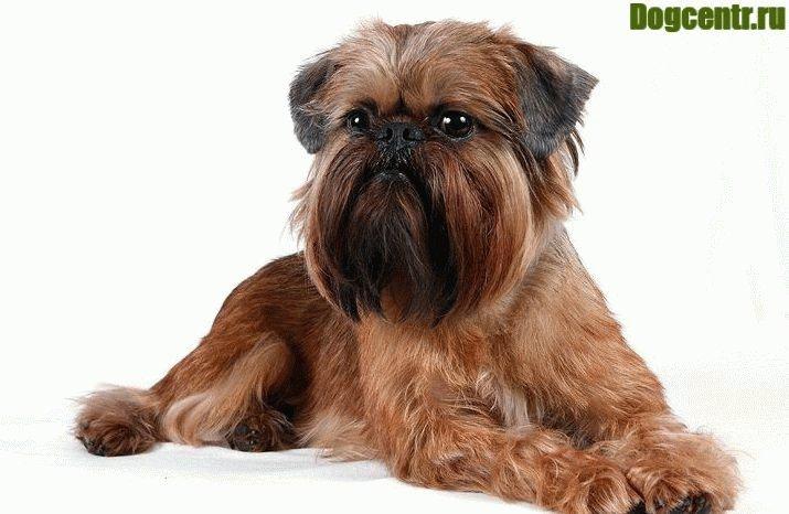 собака грифон