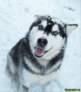 собака хаски характер