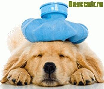 собака с грелкой на голове