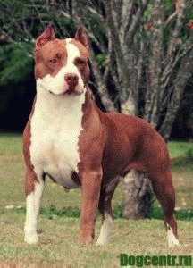 питбуль собака характер