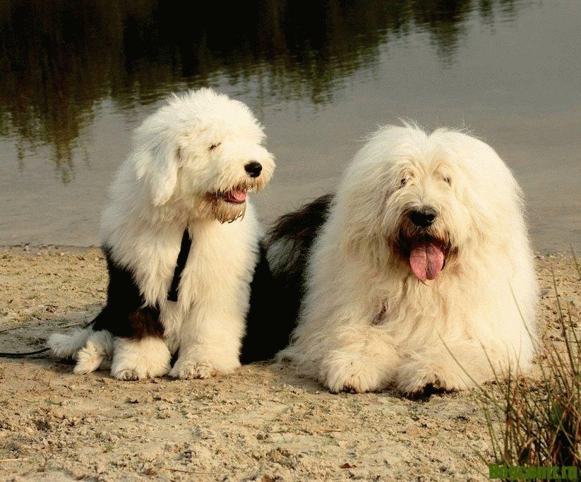 бобтейл собака