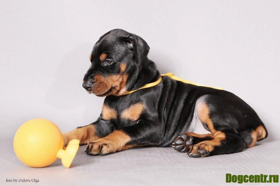 доберман пинчер щенки