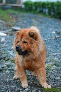 порода собак чау чау