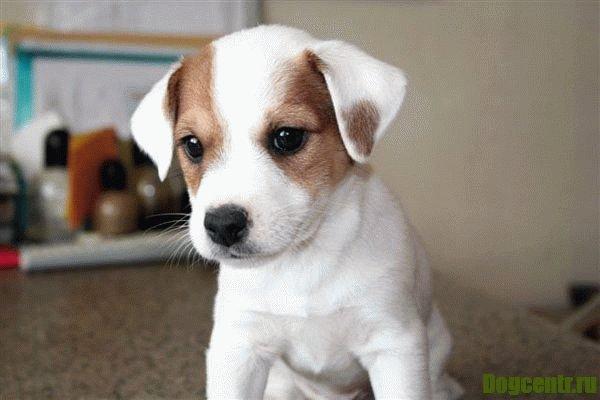 воспитание щенка джек рассел терьера