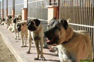 порода собак кангал