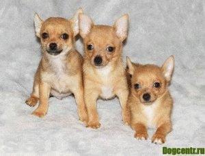воспитание щенка чихуахуа