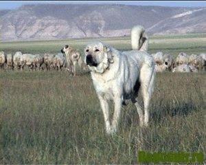 кангал собака