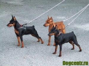 пинчер собака