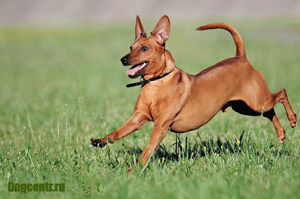 порода собак басенджи