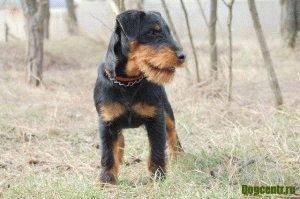 порода собак ягдтерьер