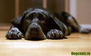 чумка у собак симптомы