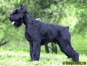 Собака Ризеншнауцер