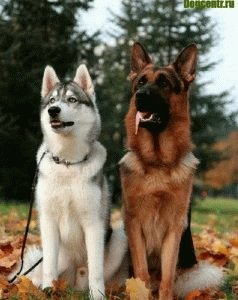 Немецкая овчарка считается тоже самой умной собакой
