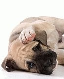 Мастит у собаки лечение в домашних условиях