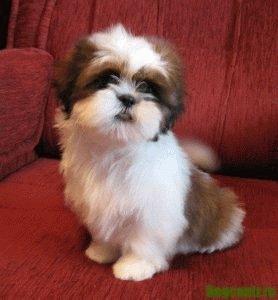 характеристика щенка