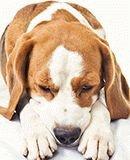 Собаку рвет желтой пеной - причины, что делать