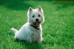 уайт терьера щенки