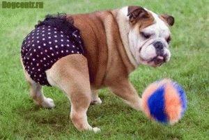 Трусы когда течка у собаки