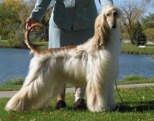 Собака Афганская борзая