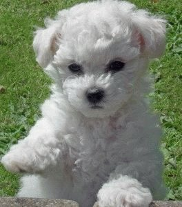 Бишон Фризе щенок