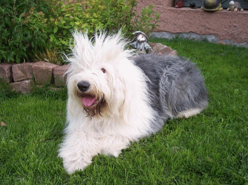 Собака Бобтейл