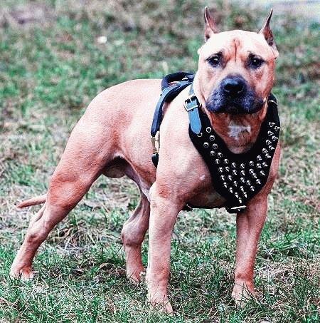 Собака Американский стаффордширский терьер