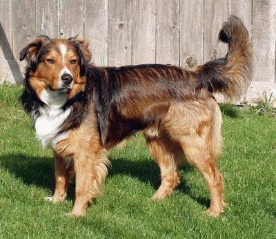 Собака Английская овчарка