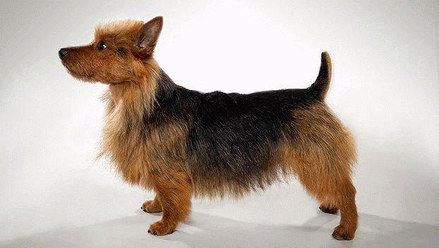 Собака Австралийский терьер