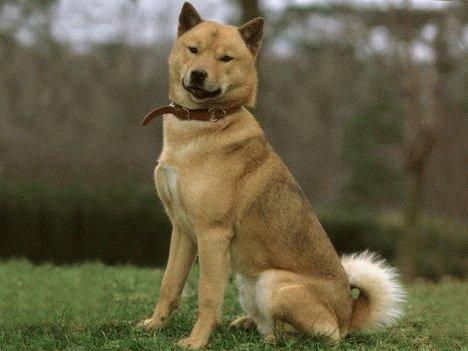 Собака Айну