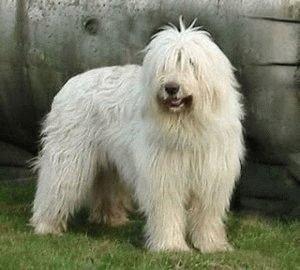 Собака Южнорусская овчарка