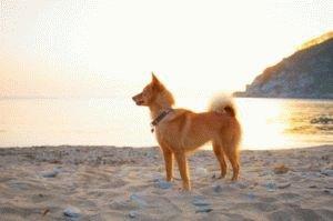 Собака Карело-финская лайка
