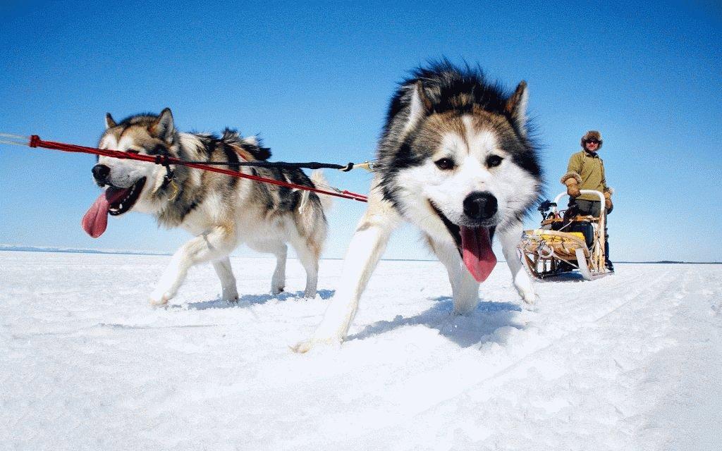 Эскимосская лайка Хаски в упряжке