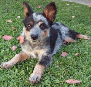 Щенок Австралийской пастушьей собаки