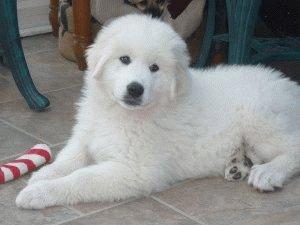 Маленькая Пиренейская горная собака