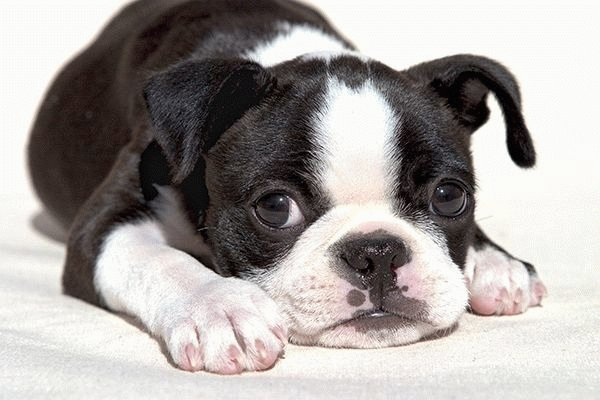 Собака Бостонский терьер