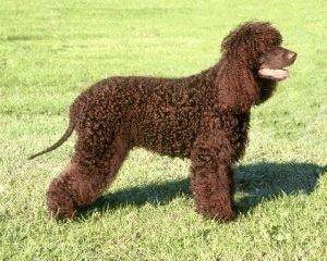 Собака Ирландский водяной спаниель