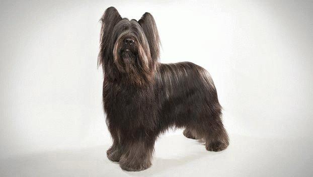 Бриар щенок