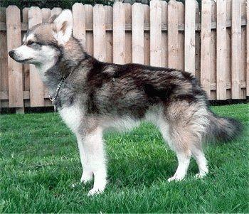 Собака Кай