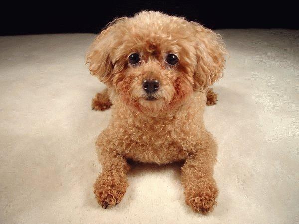 Собака Карликовый пудель