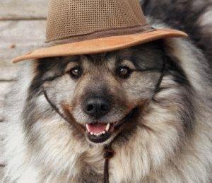 Собака Кеесхонд