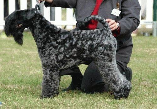 Собака Керри блю терьер