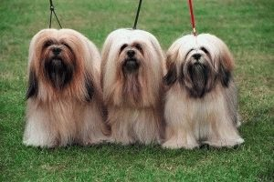 Собаки Лхасские апсо